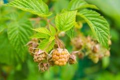 绿色莓莓果 库存图片