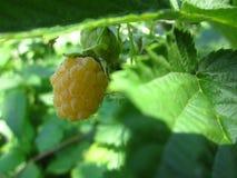 黄色莓 免版税库存图片