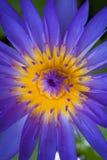 紫色莲花。 库存照片