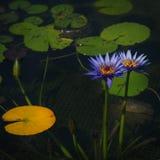 紫色莲花和叶子在池塘 库存图片
