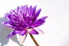 紫色莲花和阴影 免版税库存照片