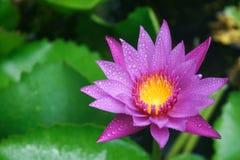 紫色莲花在下雨以后的泰国 免版税库存照片