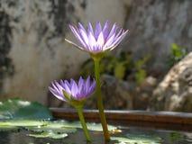 紫色莲花在池塘 免版税库存照片