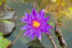 紫色莲花在盐水湖 库存照片