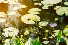 紫色莲花在荷花池在一个晴天 免版税库存图片