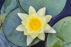 黄色莲花开花或荷花花 免版税库存照片