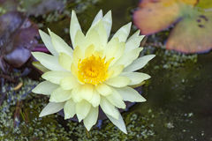 黄色莲花开花或waterlily花 免版税图库摄影