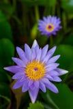 紫色莲花焦点,被弄脏 库存照片