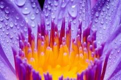 紫色莲花的宏观黄色心皮 库存图片
