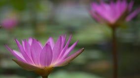 紫色莲花荷花在水池 免版税库存图片