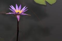 紫色莲花,荷花 免版税库存照片