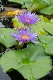 紫色莲花,荷花 免版税库存图片