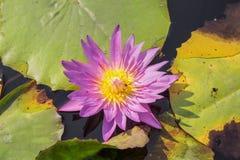 紫色莲花 与蜂的五颜六色的开花的紫色荷花 图库摄影