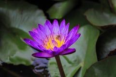 紫色莲花 背景 库存照片