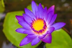 紫色莲花 免版税库存图片