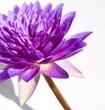 紫色莲花 图库摄影