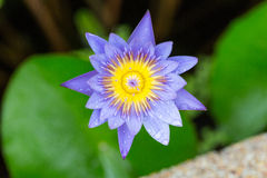 紫色莲花 免版税库存照片