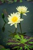 黄色莲花 库存照片