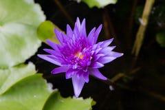 紫色莲花Horrizon 01 免版税库存图片