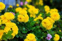 黄色菊花在庭院里 免版税库存图片