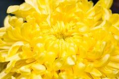 黄色菊花在黑暗的背景2中 免版税库存照片