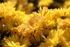 黄色菊花在Nikitskiy植物园里, Crimeaskiy植物园,克里米亚 库存照片