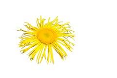 黄色菊花花,隔绝在光 免版税库存照片