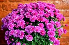紫色菊花花 免版税图库摄影
