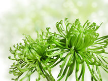 绿色菊花 库存照片