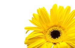 黄色菊花 库存图片