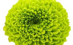绿色菊花 免版税库存照片