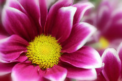 紫色菊花 库存图片