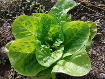 绿色菜健康生物新鲜 库存照片