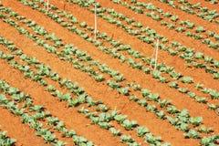 绿色菜在郎Biang山,大叻市市,林同省,越南附近调遣 库存照片