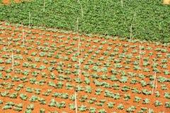 绿色菜在郎Biang山,大叻市市,林同省,越南附近调遣 库存图片