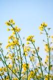 黄色菜子油(油菜 免版税图库摄影