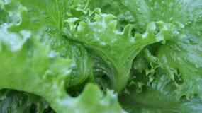 绿色菜 免版税图库摄影