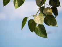 绿色菩提树叶子分支在浅兰的天空背景的 库存图片