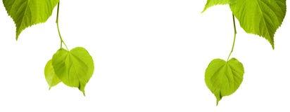 绿色菩提树树叶子 免版税图库摄影