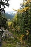 黄色落叶松属树森林 库存图片