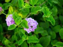 紫色落后的马樱丹属 免版税库存图片