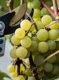 绿色葡萄准备好收获和葡萄酒酿造 免版税库存照片