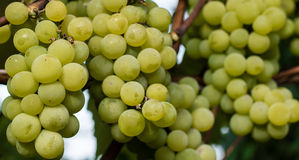 绿色葡萄准备好收获和葡萄酒酿造 库存图片