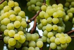 绿色葡萄准备好收获和葡萄酒酿造 免版税库存图片