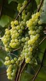 绿色葡萄准备好收获和葡萄酒酿造 免版税图库摄影