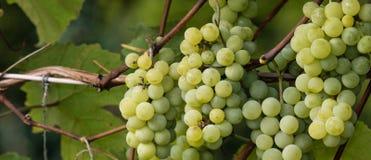 绿色葡萄准备好收获和葡萄酒酿造 图库摄影