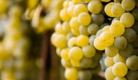 绿色葡萄准备好收获和葡萄酒酿造 库存照片