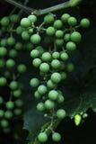 绿色葡萄分支 库存图片