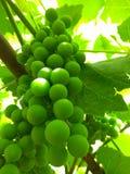 绿色葡萄初夏 免版税库存照片