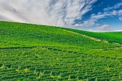 绿色葡萄园,自然抽象iddylic背景 库存照片